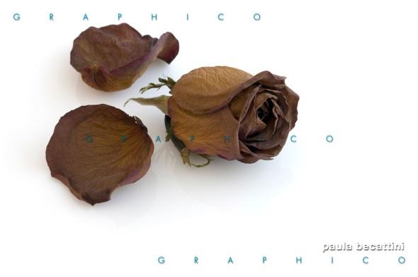 Rosa secca con petali sparsi