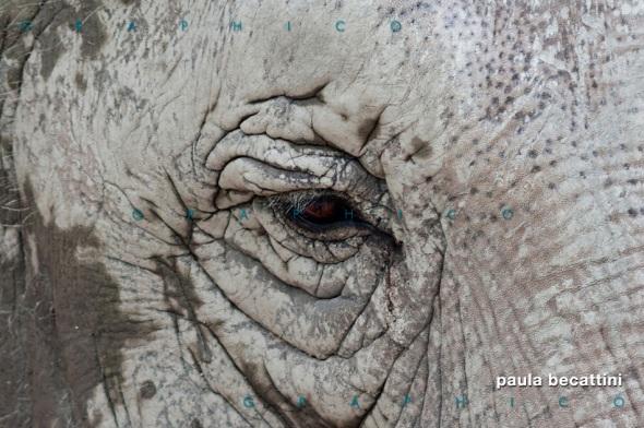 Zoom su occhio di elefante