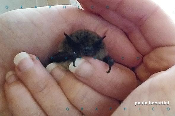 Giovane pipistrello